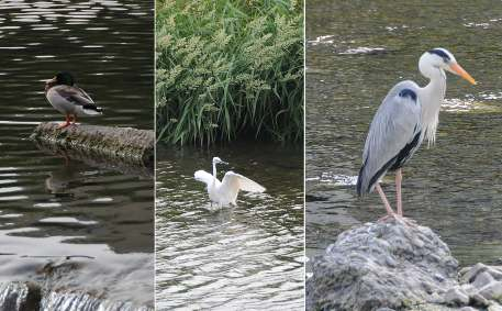 Types of birds on the Kamo river
