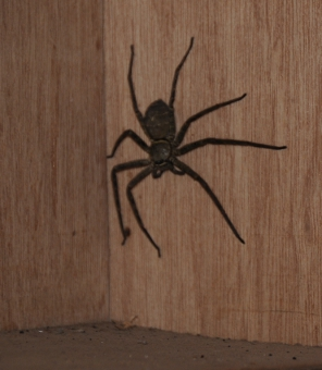 Our house spider