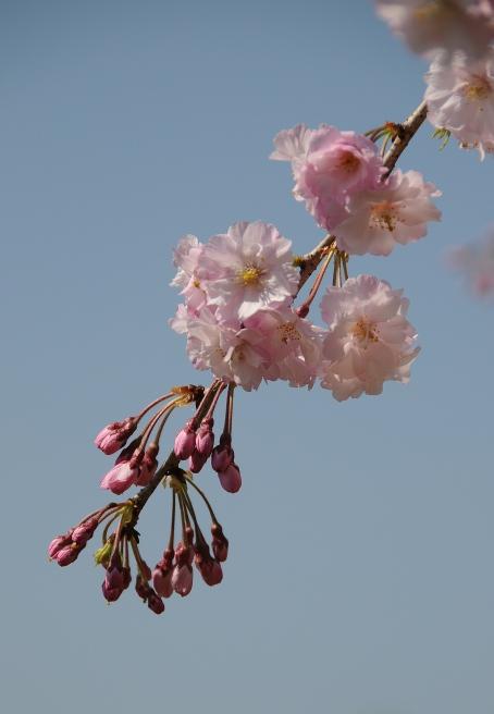 detail of the weeping sakura