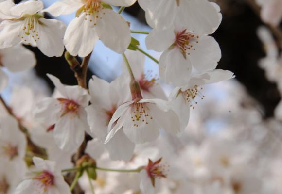 Very close closeup of cherry blossoms