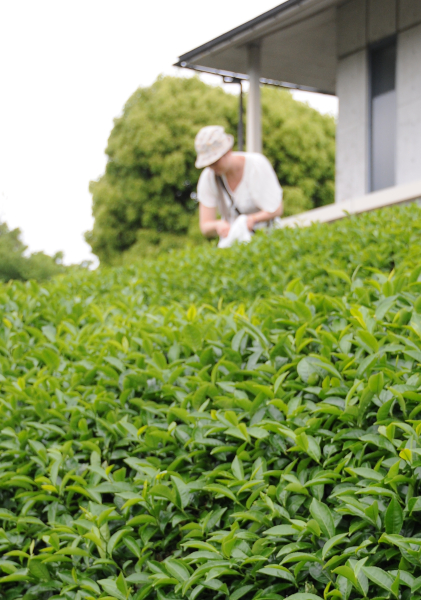 Picking fresh green tea leaves
