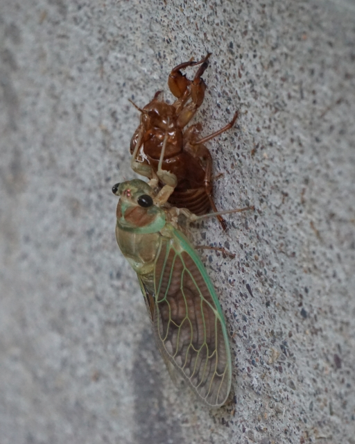 A molting cicada