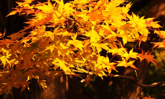 maple leaves in yellow
