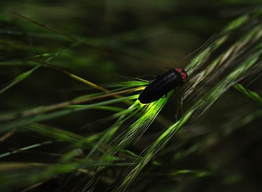 firefly on reeds