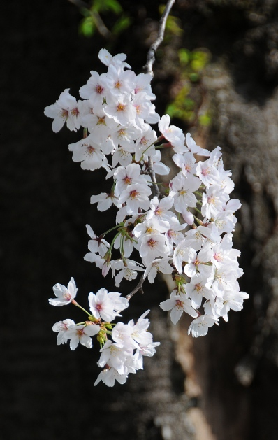 cherry blossoms before tree trunk