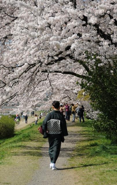 in kimono under the cherries