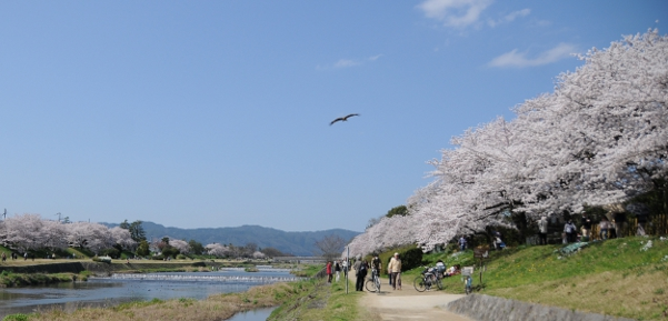 Hanami at Kamogamo river