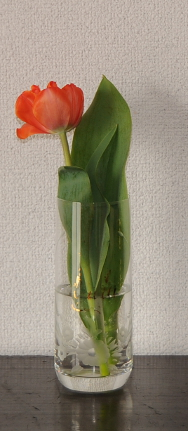 a small tulip