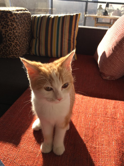 A non-folding scottish fold cat.